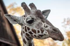 Portret van giraf Royalty-vrije Stock Foto's