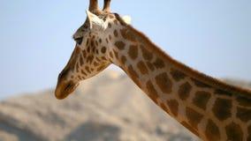 Portret van giraf het lopen stock footage