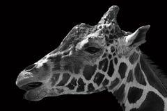 Portret van giraf in zwart-wit stock foto