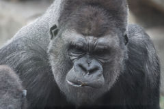 Portret van gorilla stock foto