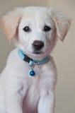 Portret van gouden puppy royalty-vrije stock foto