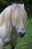 Portret van grappig wild paard Royalty-vrije Stock Fotografie