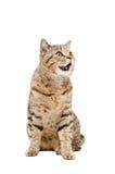 Portret van grappige katten Schotse Recht Stock Foto's