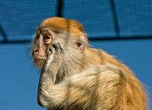 Portret van Grappige Macaque-aap Stock Foto