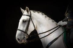 Portret van grijs dressuurpaard op zwarte Royalty-vrije Stock Afbeeldingen