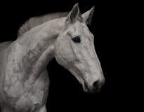 Portret van grijs paard stock afbeeldingen