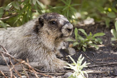 Portret van Grijswitte Marmot Royalty-vrije Stock Foto's