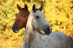 Portret van grijze akhal-teke in de herfst Royalty-vrije Stock Afbeeldingen