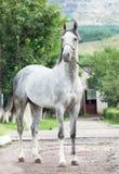 Portret van grijze Arabische hengst Royalty-vrije Stock Afbeelding