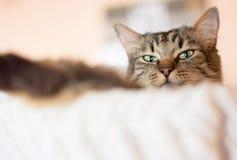 Portret van grijze kat, bodemmening stock foto's