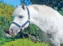 Portret van grijze Welse poney. Stock Afbeeldingen