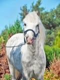 Portret van grijze Welse poney Stock Afbeelding