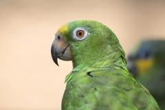 Portret van groene papegaai Royalty-vrije Stock Foto's