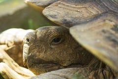 Portret van grote landschildpad in shell Stock Foto's