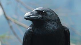 Portret van grote zwarte gemeenschappelijke raaf Hoofd van wilde vogel in bos stock video