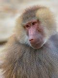 Portret van Hamadryas-baviaan stock afbeelding