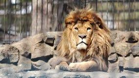 Portret van het Afrikaanse leeuw kijken stock footage