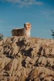 Portret van het Australische verblijf van de herdershond op zandmuur stock afbeeldingen