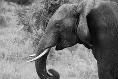 Portret van het glimlachen van Mannelijke Afrikaanse Olifant Stock Foto