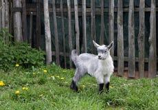 Portret van het grijze pluizige kind van een geit stock afbeelding