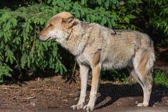 Portret van het grijze wolfsclose-up stock foto