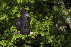 Portret van het kale Eagle-vliegen royalty-vrije stock afbeelding