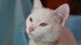 Portret van het katten het witte huisdier De mooie bevlekte kat zit door het vensterportret binnen stock footage