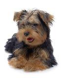 Portret van het leggen van puppy van Yorkshire terriër stock foto