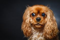 Portret van het leuke arrogante spaniel van koningscharles royalty-vrije stock afbeelding