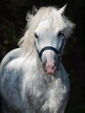 Portret van het lopen grijze Welse poney bij donkere achtergrond Royalty-vrije Stock Foto's