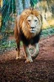 Portret van het mannelijke leeuw lopen Royalty-vrije Stock Foto