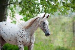 Portret van het paard van het knabstrupperras - wit met bruine vlekken  royalty-vrije stock foto's