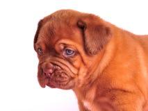 Portret van het Puppy van Dogue DE Bordeaux Royalty-vrije Stock Foto's