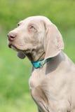 Portret van het puppy van Weimaraner Vorsterhund Royalty-vrije Stock Fotografie