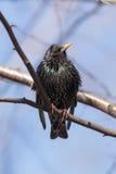 Portret van het starling Stock Afbeelding
