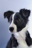 Portret van hond Stock Afbeeldingen