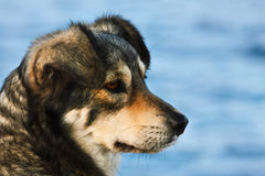 Portret van hond Royalty-vrije Stock Afbeelding