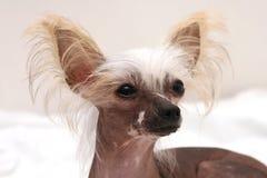 Portret van hond royalty-vrije stock foto's