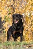 Portret van hond Rottweiler Stock Afbeelding