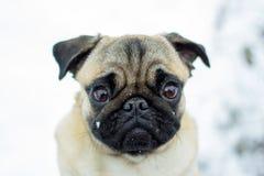 Portret van huisdierenpug Stock Afbeeldingen