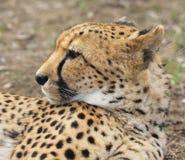 Portret van jachtluipaard Stock Foto
