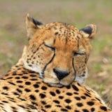 Portret van jachtluipaard Royalty-vrije Stock Afbeeldingen