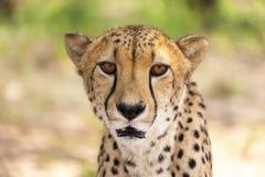 Portret van Jachtluipaard die de camera, Namibië bekijken Selectieve FO Royalty-vrije Stock Afbeeldingen