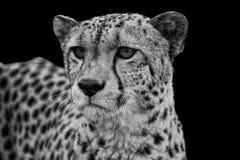 Portret van jachtluipaard in zwart-wit Stock Fotografie
