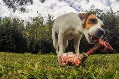 Portret van Jack Russell Terrier Dog Chewing een Groot Been royalty-vrije stock afbeelding