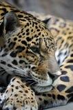 Portret van jaguar royalty-vrije stock fotografie