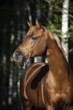 Portret van jong Arabisch paard bij zwarte achtergrond Royalty-vrije Stock Foto's