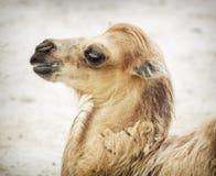 Portret van jonge Bactrische kameel Stock Afbeeldingen