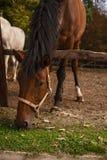 Portret van jonge bruine paarden op het weiland Royalty-vrije Stock Afbeelding