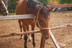 Portret van jonge bruine paarden op het weiland Royalty-vrije Stock Afbeeldingen